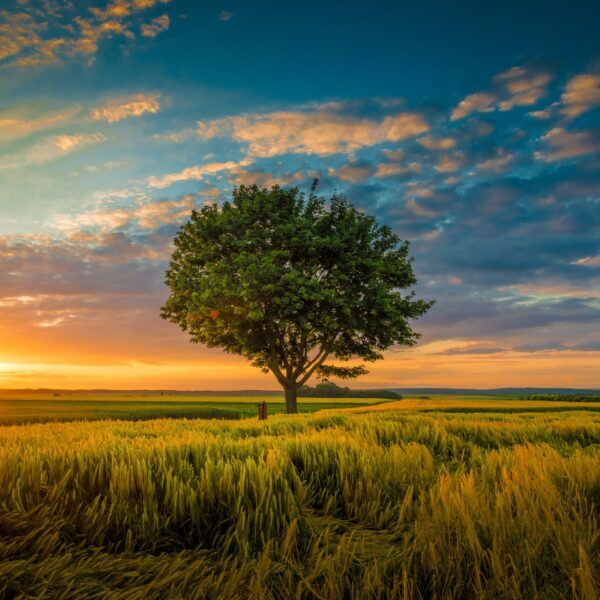 A wide angle shot of a single tree growing under a clouded sky during a sunset surrounded by grass